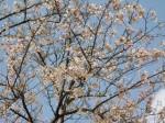 久徴園に咲くサクラ
