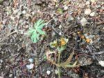 セツブンソウ種子