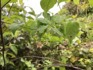 エゾツリバナ